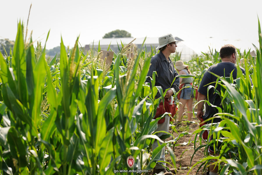 Researchers bagging corn to prevent cross pollination