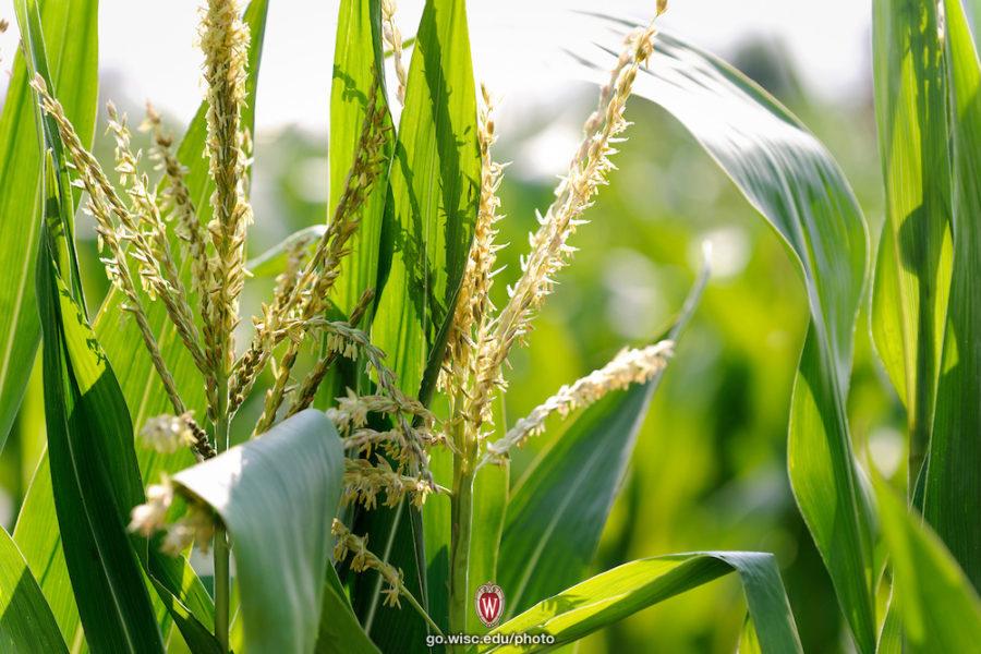 Corn stalks in the sun