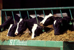 Cows eating hay from a trough